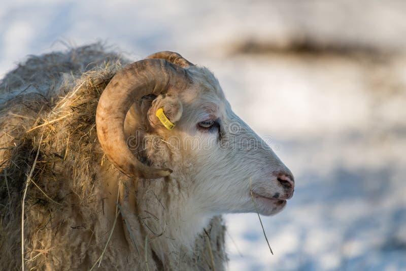 Vecchia razza Skudde delle pecore della casa nell'inverno in Germania fotografia stock