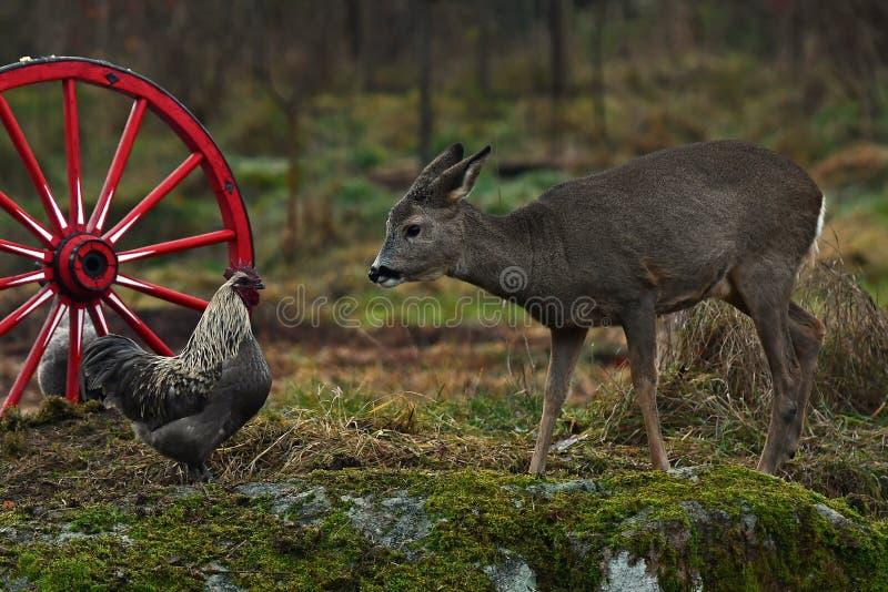 Vecchia ruota di vagone e vecchia razza del pollo e dei caprioli selvaggi fotografia stock libera da diritti
