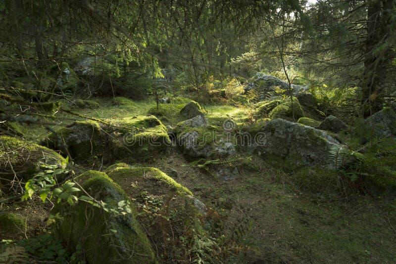 Download Vecchia scena dell'abetaia fotografia stock. Immagine di silenzio - 101620990