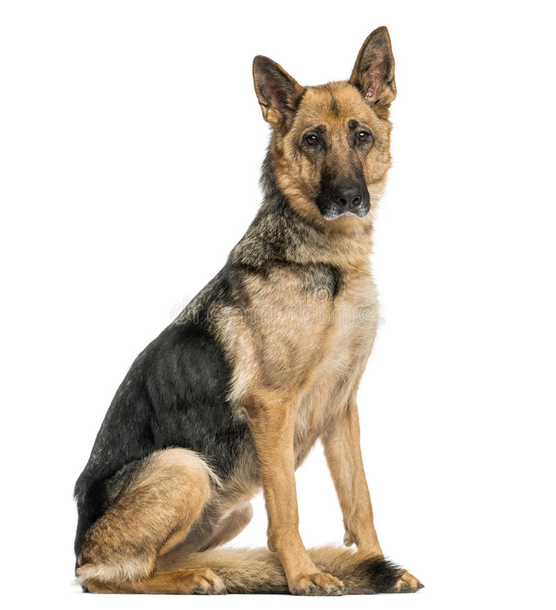 Vecchia seduta tedesca scarna del cane da pastore, esaminante la macchina fotografica immagini stock