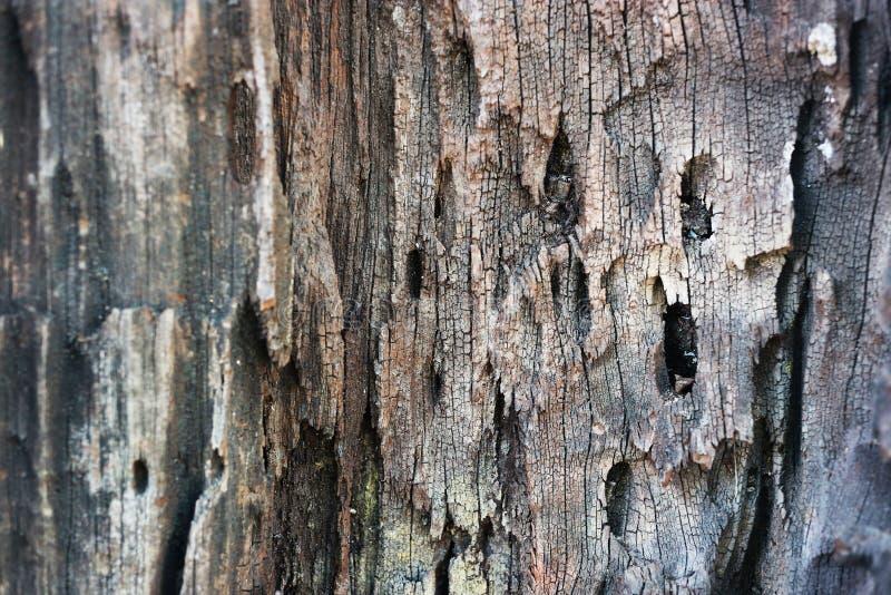 Vecchia struttura del primo piano della corteccia di albero Superficie della buccia dell'albero Modello rustico obsoleto dell'ins fotografie stock