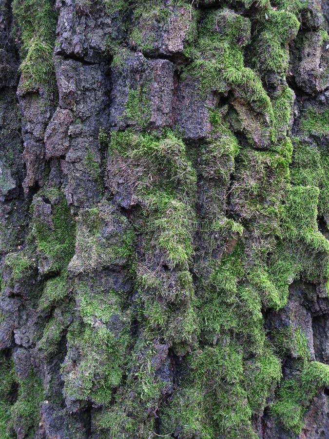 Vecchia struttura della corteccia di betulla con muschio immagine stock