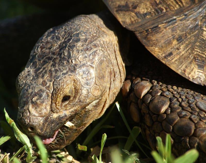 Vecchia tartaruga del leopardo in Tanzania, Africa immagine stock libera da diritti