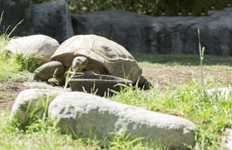 Vecchia tartaruga molto grande fotografia stock libera da diritti