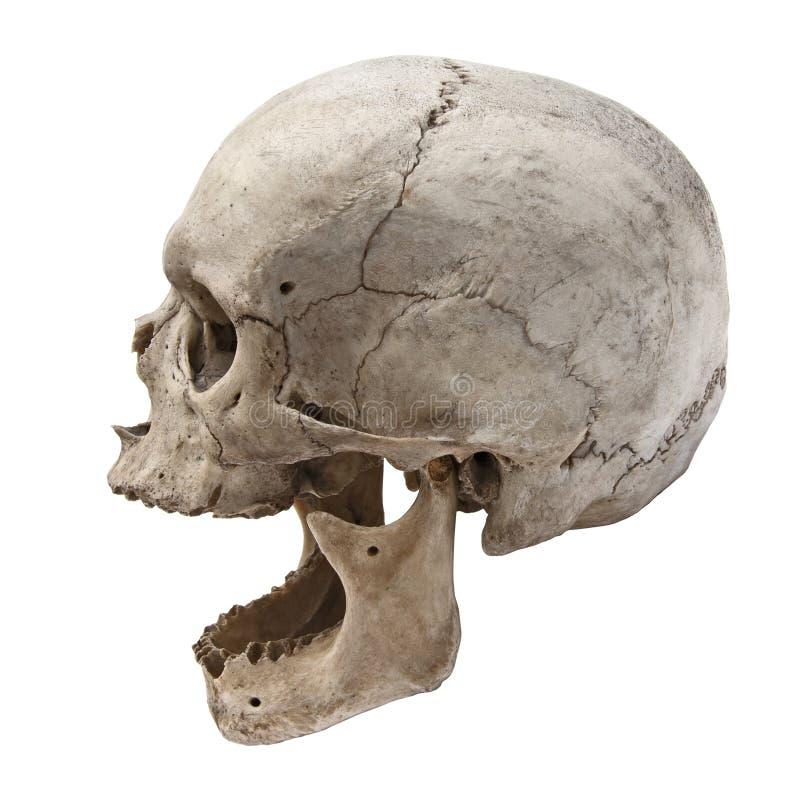 Vecchia vista umana del cranio dal lato senza denti fotografie stock