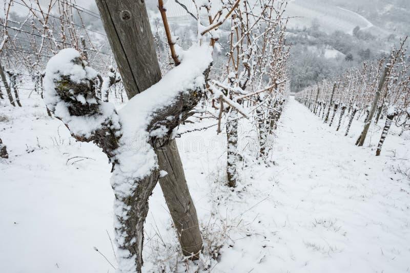 Vecchia vite nel winer con neve fotografia stock libera da diritti