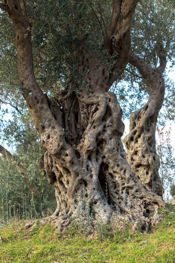 Vecchie olive di secoli immagine stock libera da diritti