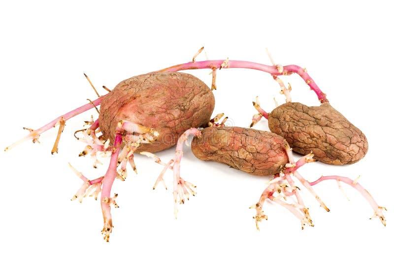 Vecchie patate rosa germinate isolate su fondo bianco fotografia stock