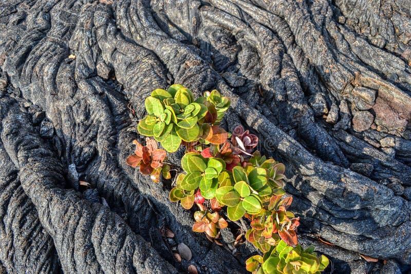 Vecchie piante delle Hawai delle rocce della lava che crescono fuori dalle crepe fotografia stock libera da diritti