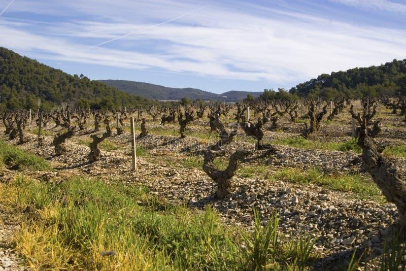 Vecchie viti Gnarly di Syrah in Gigondas fotografie stock