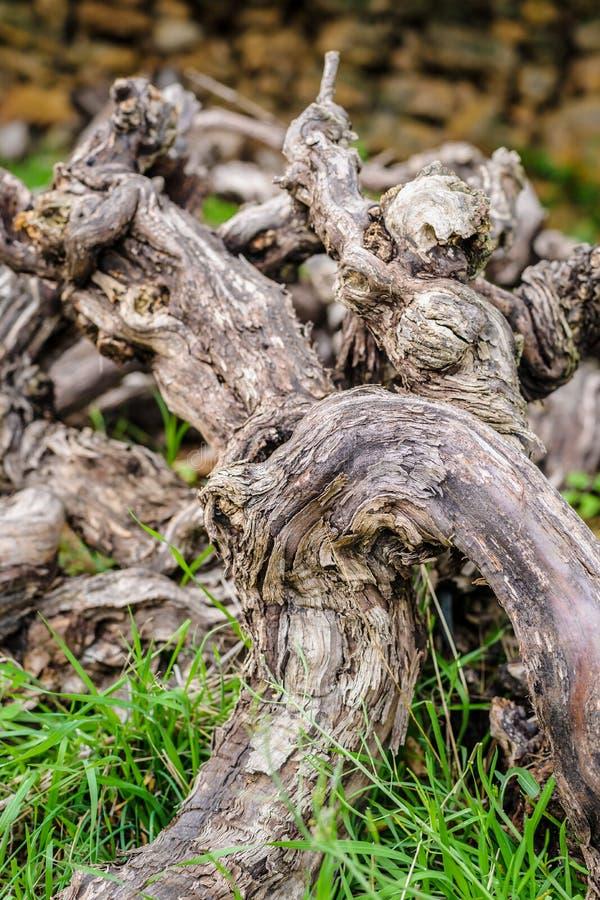 Vecchie viti morte in ramo secco riunito fotografia stock