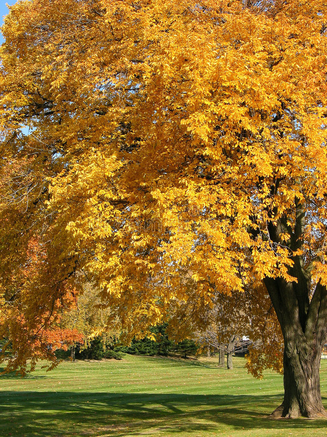 Vecchio albero 1 di autunno fotografia stock libera da diritti