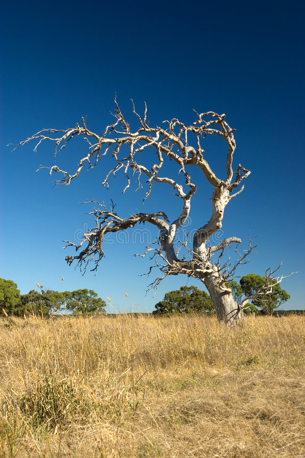Vecchio albero appassito fotografia stock libera da diritti