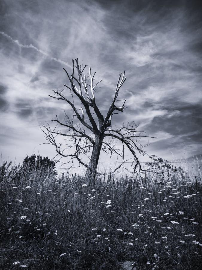 Vecchio albero (B&W) immagini stock libere da diritti