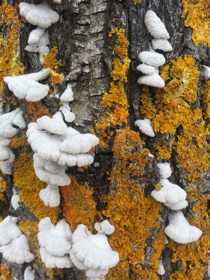 Vecchio albero con il fungo di legno di decomposizione fotografia stock
