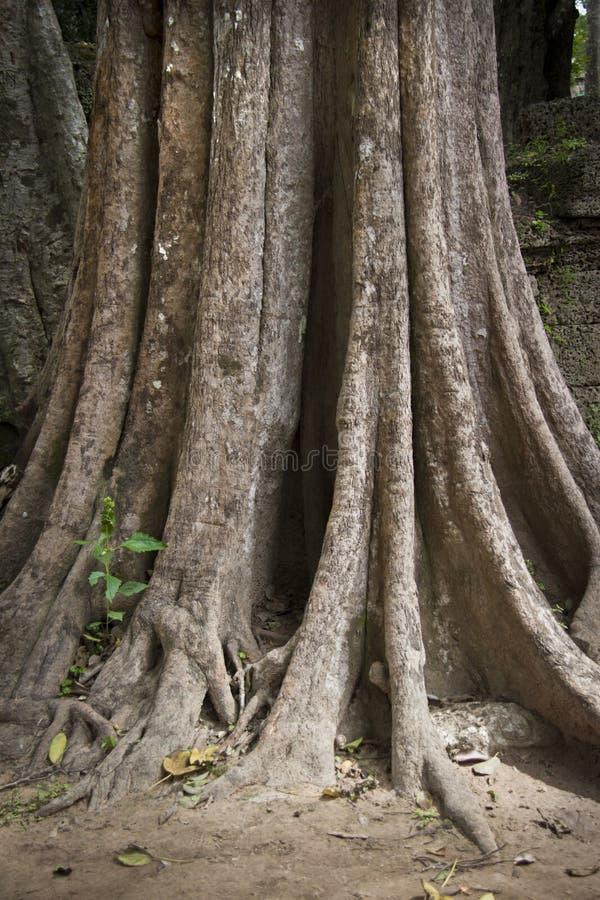 Vecchio albero con le grandi radici nella foresta della giungla fotografia stock libera da diritti