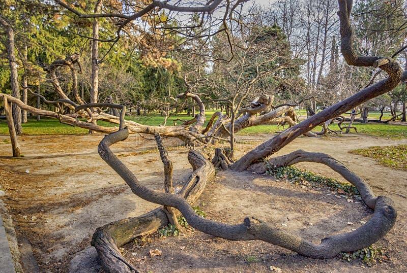 Vecchio albero curvato immagine stock