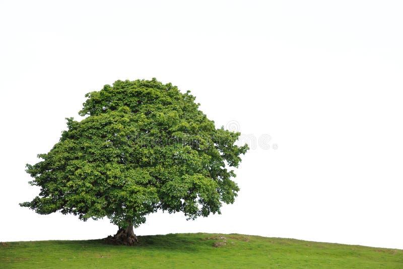 Vecchio albero del sicomoro fotografia stock libera da diritti