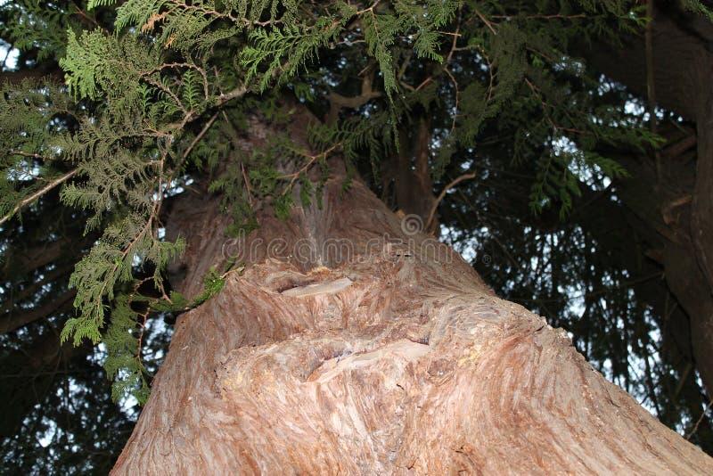 Vecchio albero di cedro fotografia stock libera da diritti
