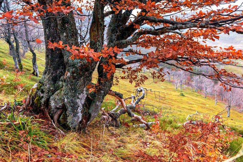 Vecchio albero di faggio fotografia stock