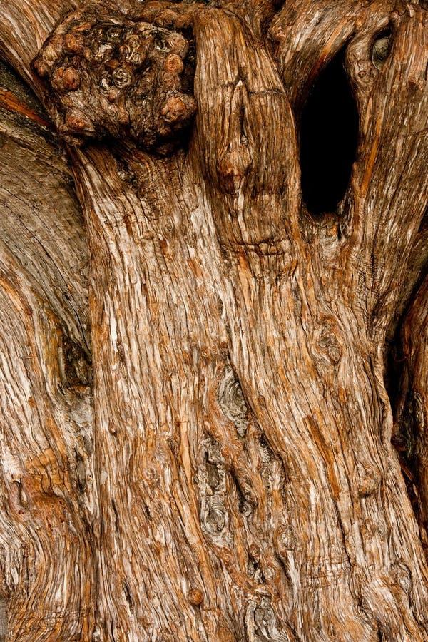 Vecchio albero di quercia Gnarled con il foro di nodo immagini stock libere da diritti