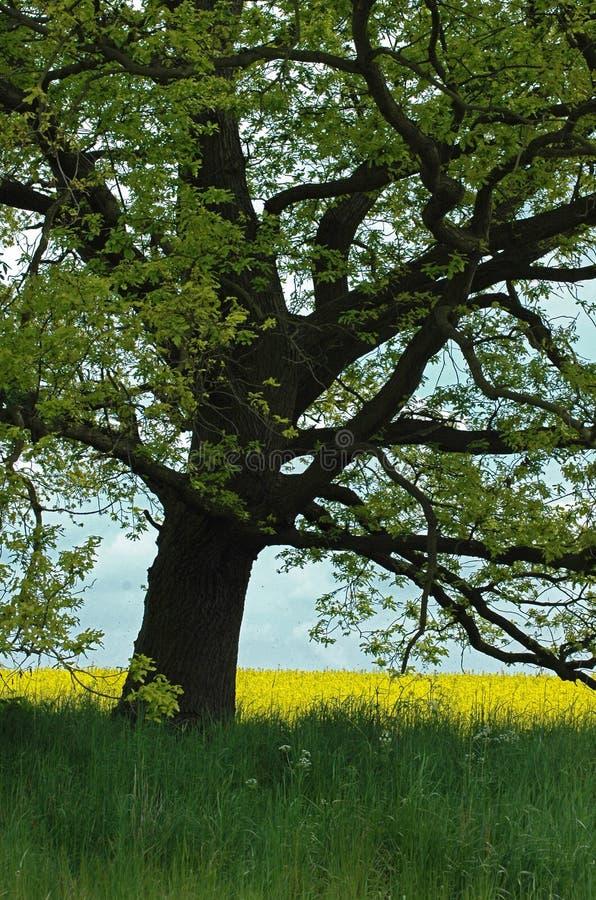 Vecchio albero di quercia nel campo della violenza immagini stock