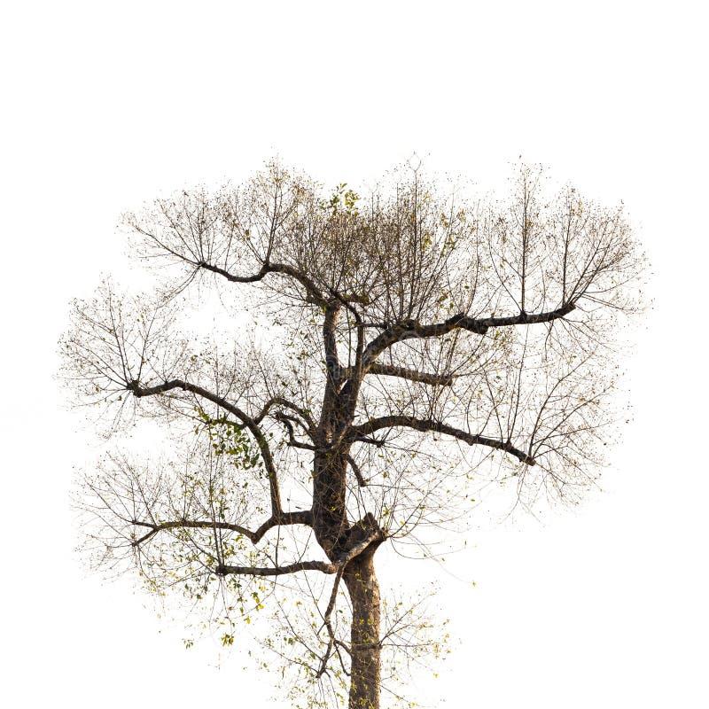 Vecchio albero dopo il taglio dei rami fotografia stock libera da diritti