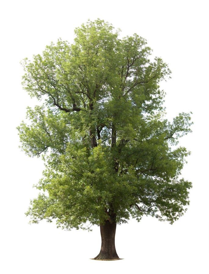 Vecchio albero isolato enorme fotografia stock