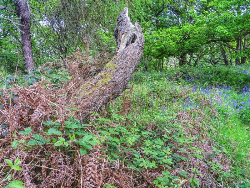 Vecchio albero morto in terreno boscoso immagini stock libere da diritti