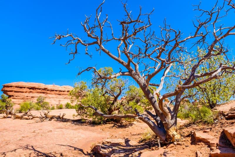 Vecchio albero morto in un deserto fotografia stock
