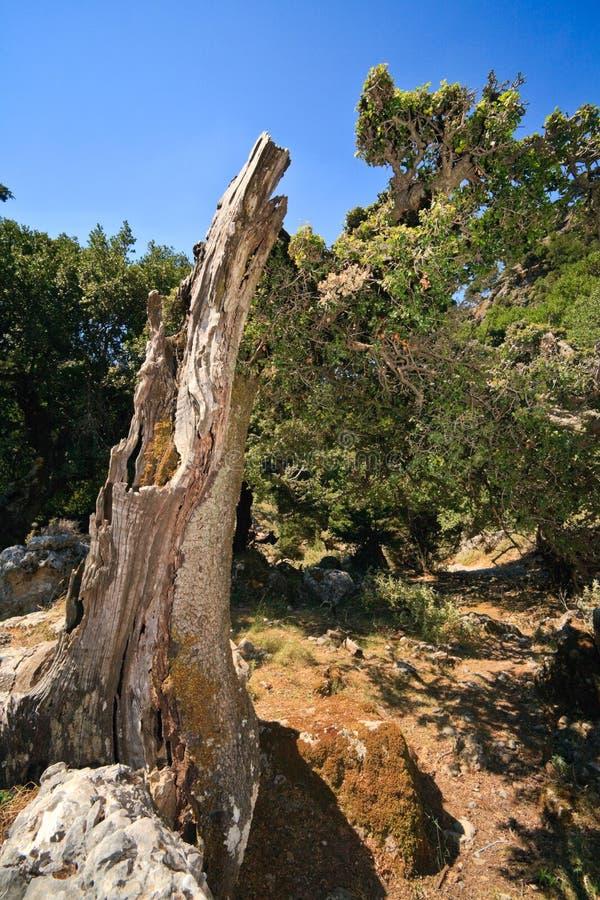 Vecchio albero nel cleft di Imbros fotografie stock libere da diritti