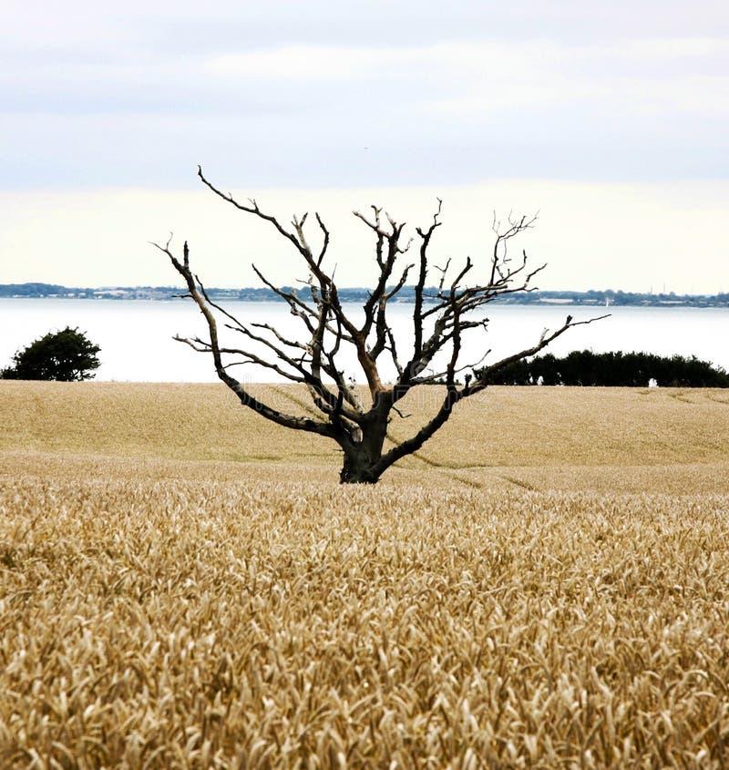 Vecchio albero nel giacimento di grano immagini stock