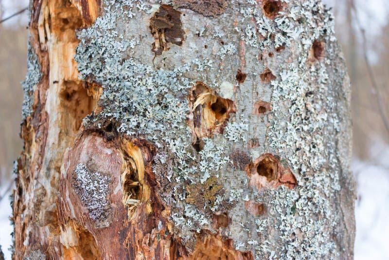 Vecchio albero nocivo dai termits fotografia stock