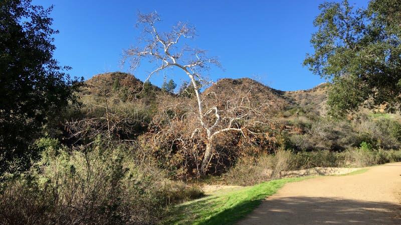 Vecchio albero nudo immagine stock libera da diritti