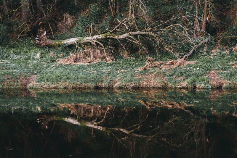 Vecchio albero rotto e la sua riflessione nel fiume fotografia stock libera da diritti
