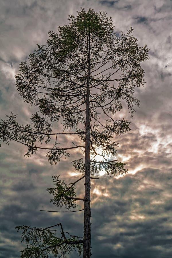 Vecchio albero solo contro un cielo nuvoloso drammatico fotografia stock