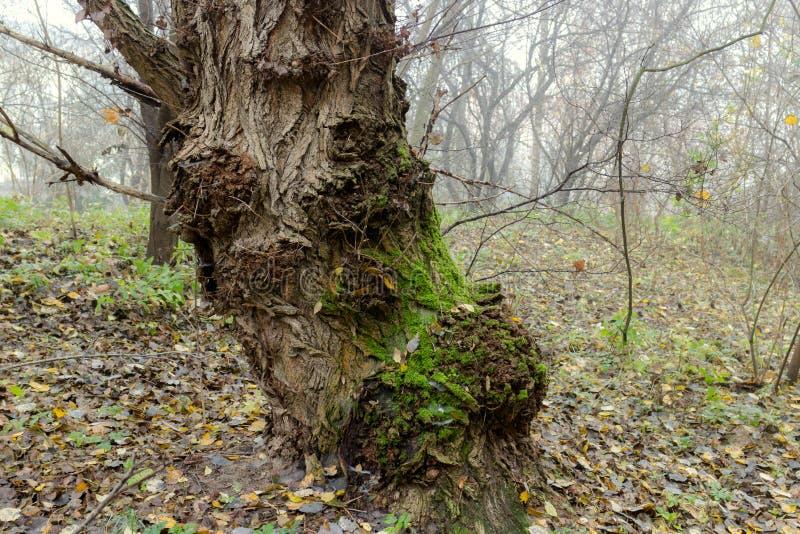 Vecchio albero traballante di mistero e gnarly in foschia immagine stock libera da diritti