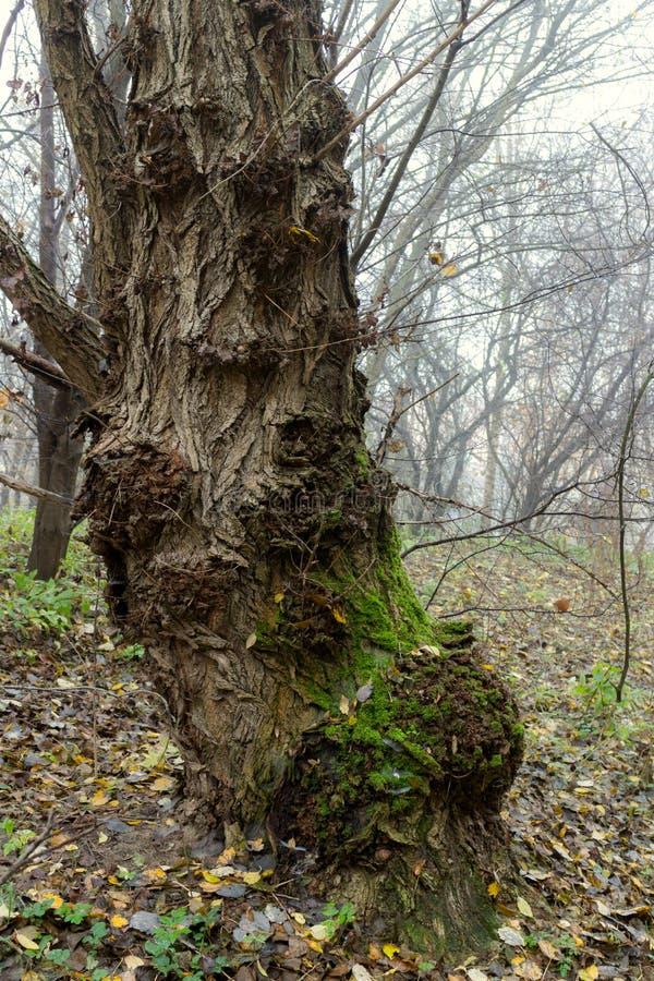 Vecchio albero traballante di mistero e gnarly nella mattina nebbiosa immagini stock