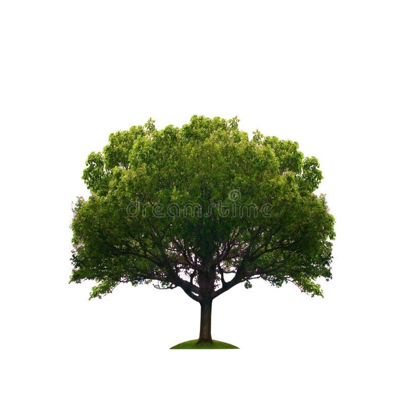Vecchio albero verde isolato fotografia stock libera da diritti