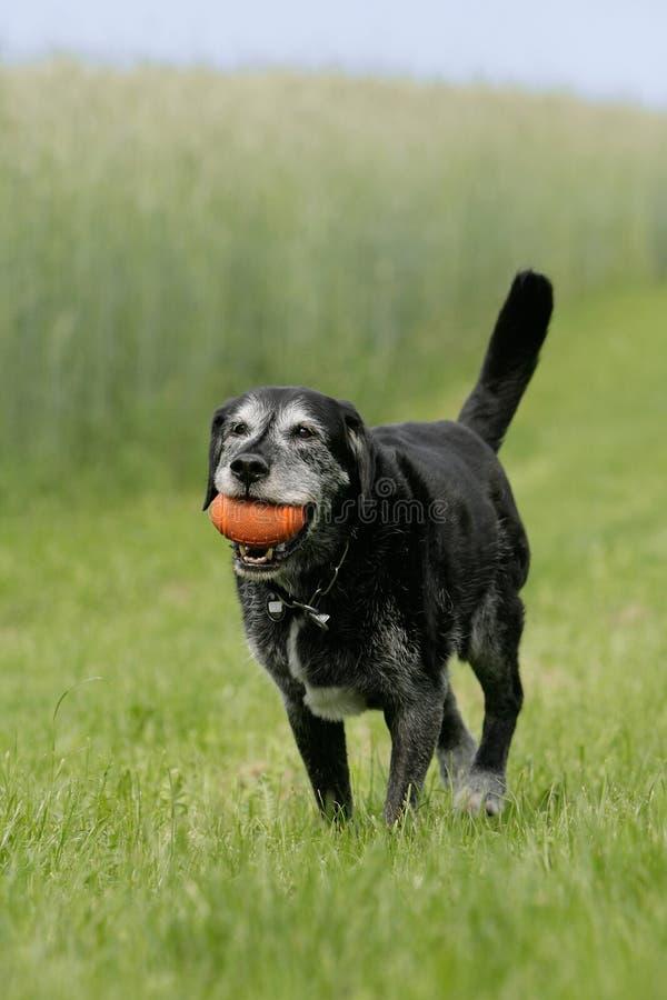 Vecchio cane con dogtoy fotografie stock