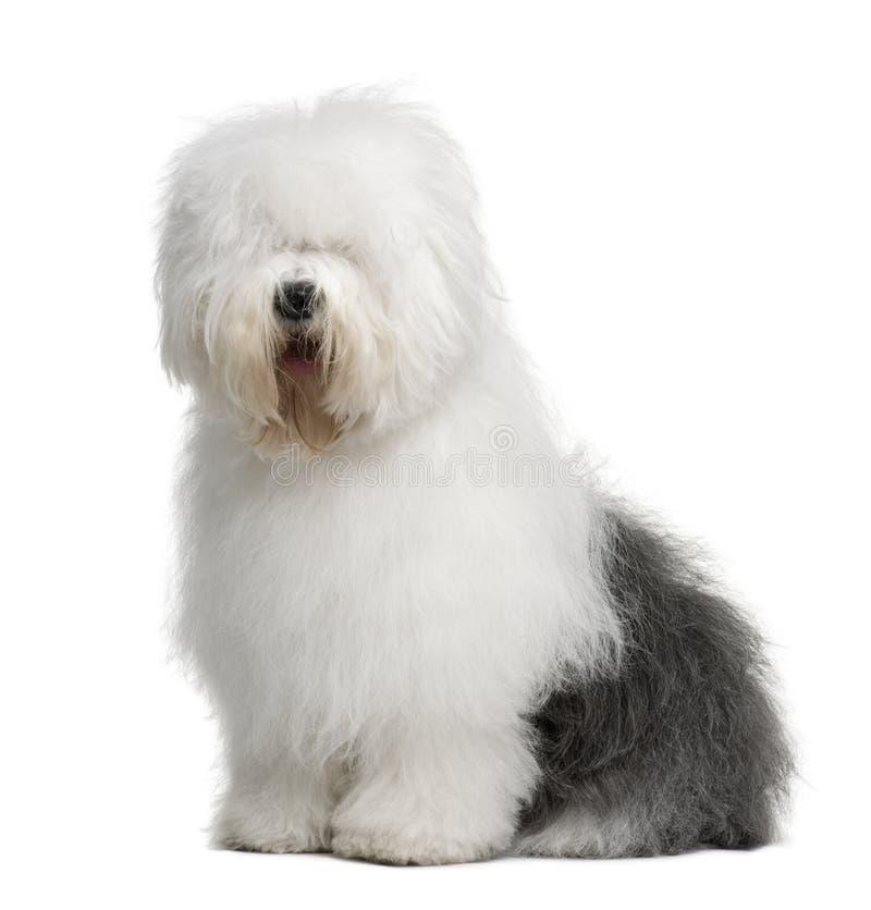 Vecchio cane pastore inglese, 3 anni, sedentesi fotografia stock libera da diritti