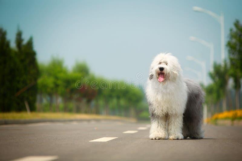 Vecchio cane pastore inglese fotografia stock libera da diritti