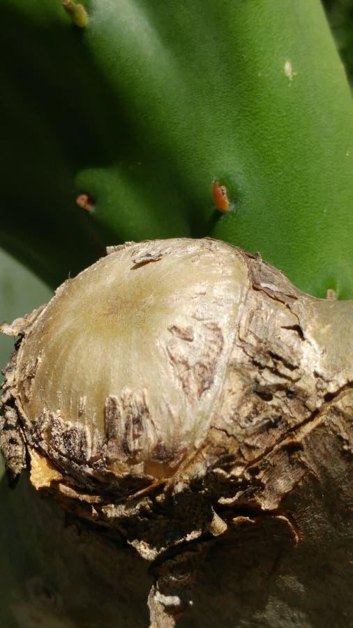 Vecchio ceppo del cactus immagine stock libera da diritti