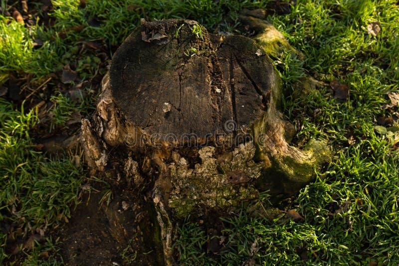 Vecchio ceppo di albero immagini stock libere da diritti