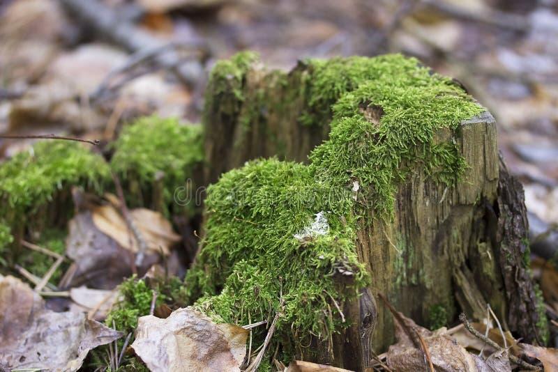 Vecchio ceppo di albero con muschio verde nello sfondo naturale della foresta di primavera fotografia stock libera da diritti