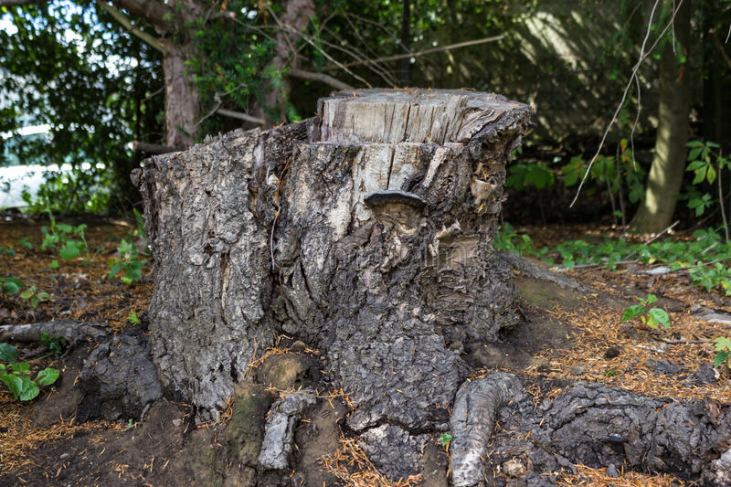 Vecchio ceppo di albero coperto di muschio nella foresta di conifere, bello paesaggio fotografia stock libera da diritti