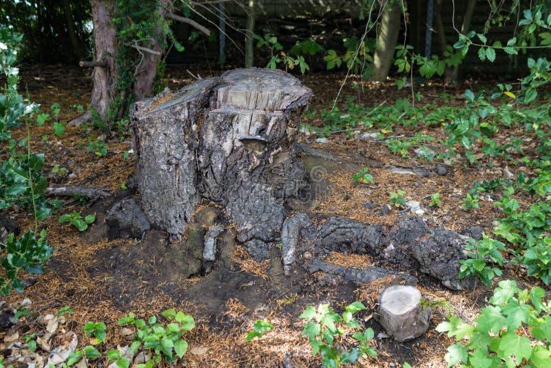 Vecchio ceppo di albero coperto di muschio nella foresta di conifere, bello paesaggio fotografie stock