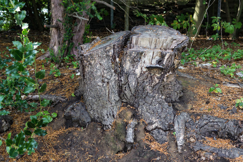 Vecchio ceppo di albero coperto di muschio nella foresta di conifere, bello paesaggio immagine stock libera da diritti