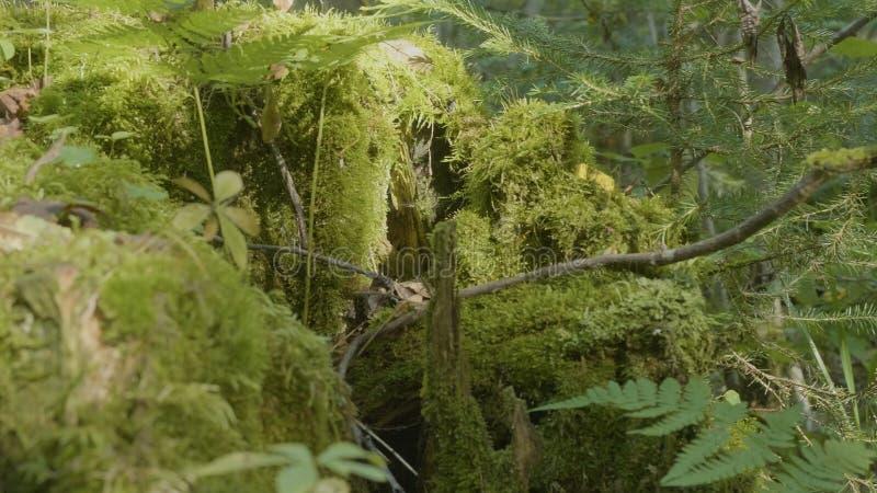 Vecchio ceppo di albero coperto di muschio nella foresta di conifere, bello paesaggio Ceppo con muschio nella foresta fotografie stock