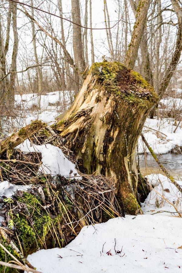 Vecchio ceppo di albero coperto di muschio nella foresta di conifere, bello paesaggio immagine stock